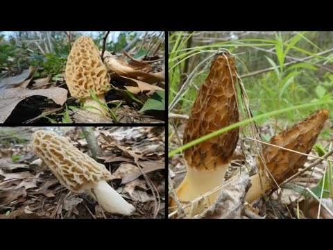 Morel Mushroom Hunting In Michigan. Wild Edible Omelette.