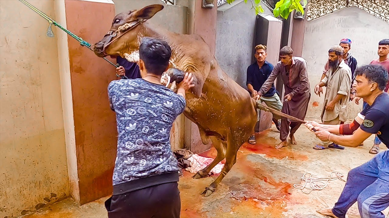 Download Beautiful Cow Qurbani at Bakra Eid 2021 | Cattle Market Karachi | Eid ul Azha 2021 | Eid ul Adha