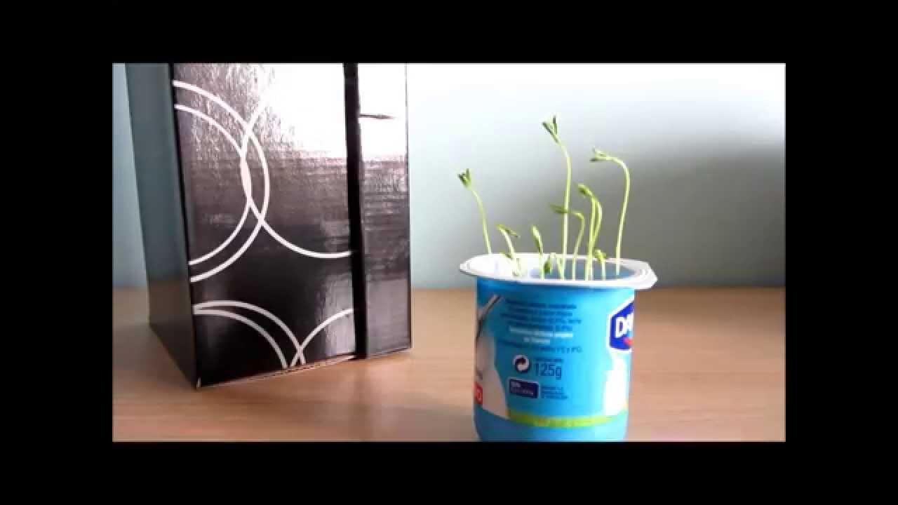 Experimento casero crece una planta sin luz youtube - Plantas de interior sin luz ...