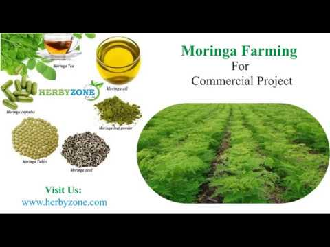 Moringa cultivation in Pakistan by Herbyzone