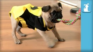 Pug Batman Is The Best Batman  Puppy Love