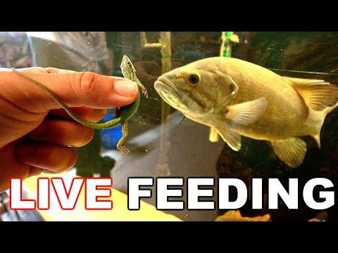 FEEDING LIVE LIZARDS To Pet Fish!! (SURPISING!)