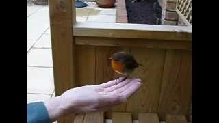 Little Bob the Robin