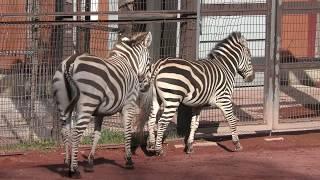 グラントシマウマ (茶臼山動物園) ファミリー ♀ 1988年6月18日 大分サフ...