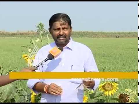 Sunflower farming at Thrissur Pullazhi