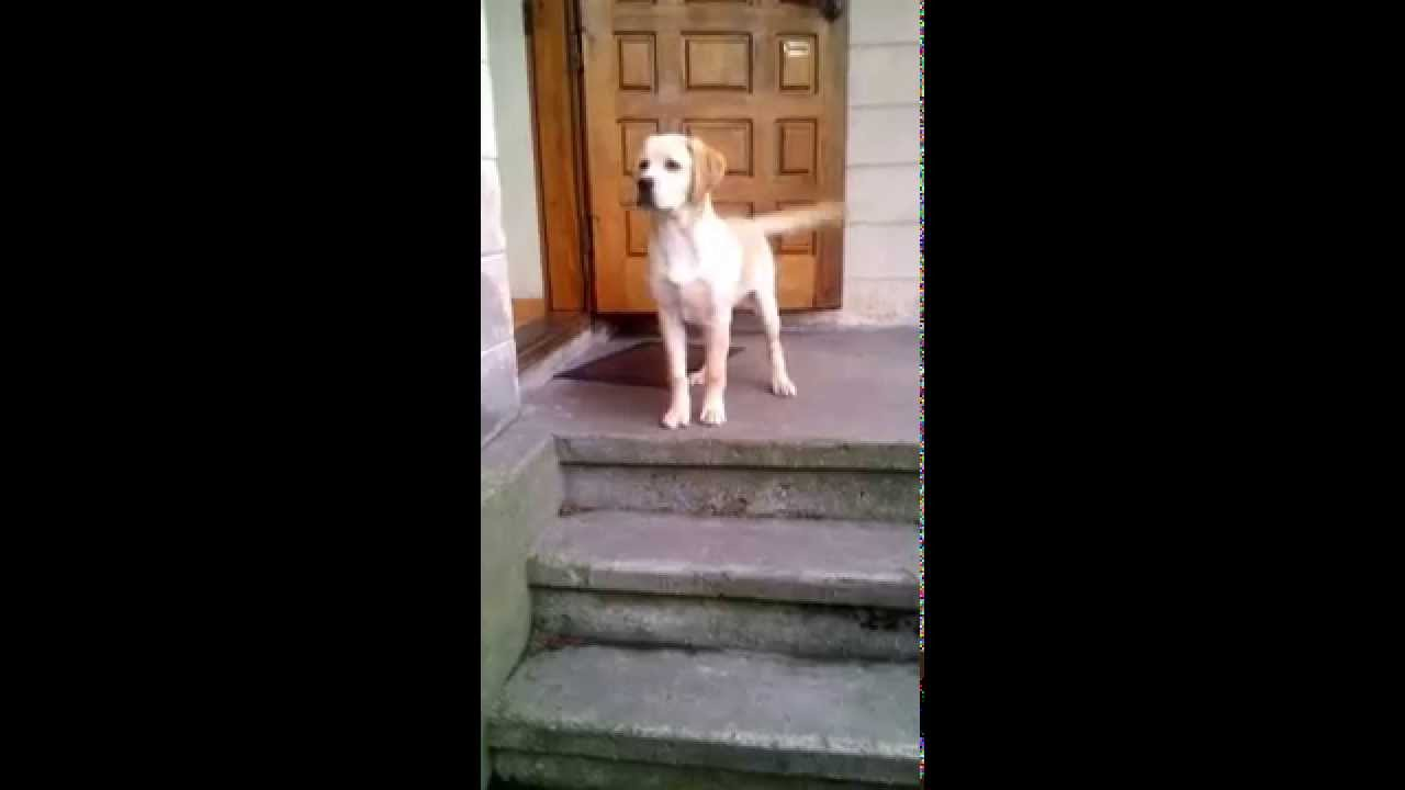 Everyday Labrador Puppy Greets Owner Coming Home In A Wicked Way