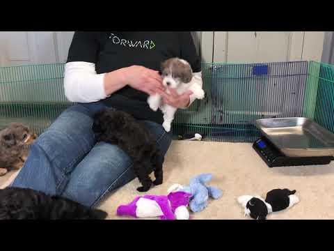 Diva's schnoodle puppies 3/15/19
