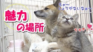 柴犬の寝床は子猫の快適空間♪--House of Riki is the favorite place of kitten---