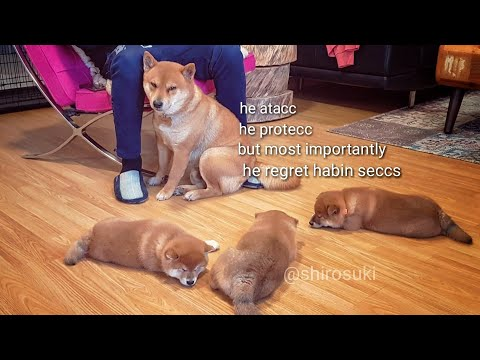 AMGERY daddo - the return Ep05 / Shiba Inu puppies (with captions)