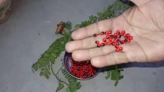 Gunja herb plant || गुन्जा || रत्ती के औषधीय लाभ