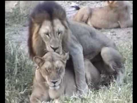 LION'S Sexual behaviour