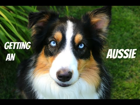 Things You Need To Know Before Getting An Aussie |Life With Aspen|