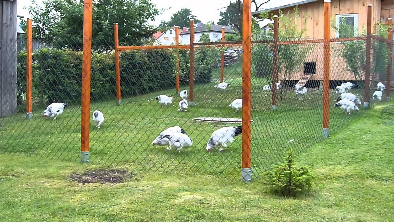 Hühnergehege sundheimer ca 3 monate alt