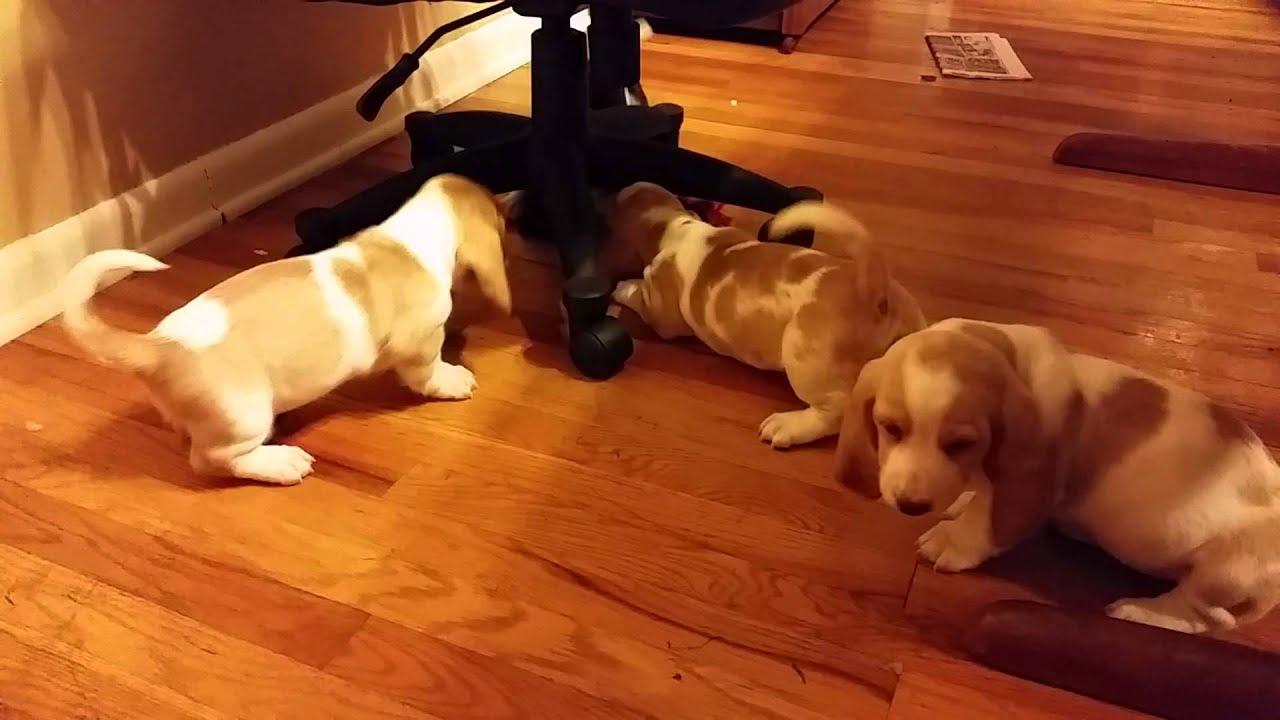 Basset Hound Puppy Pinwheel Youtube