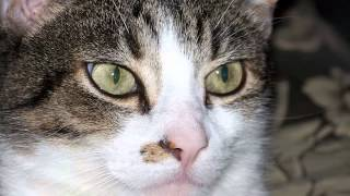 Sonido de Gato 2 - Ronroneo - Sonidos de Animales para niños