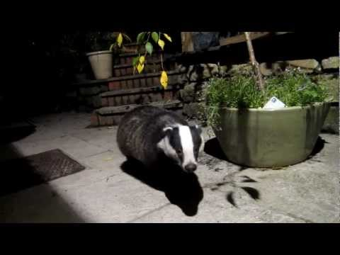 Sweet Tame Badger.MOV