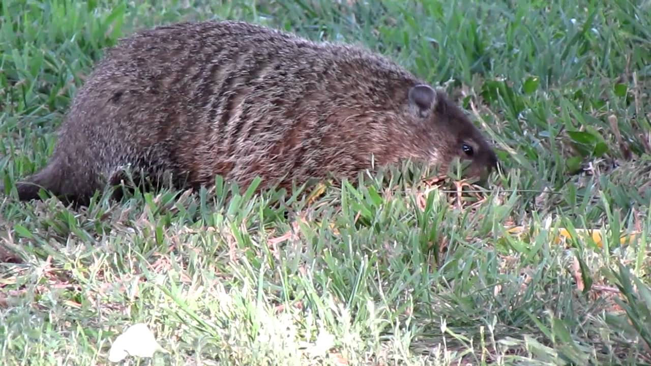Woodchuck shows its teeth. - YouTube  Woodchuck shows...