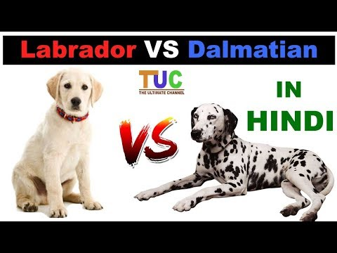 Labrador Vs Dalmatian In HINDI | Dog vs Dog | Dog Comparison | The Ultimate Channel
