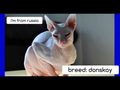 Donskoy Hairless Cat | Cat Breeds 101