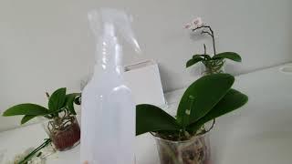 호접란 수경재배 물주기