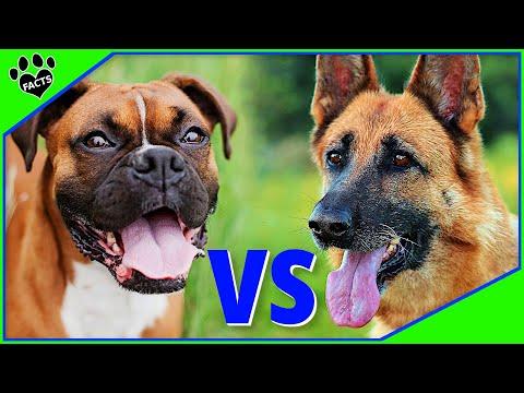 Boxer Vs German Shepherd - Which is Better? Dog vs Dog
