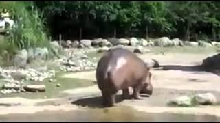 Scheet nijlpaard