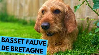 Basset Fauve de Bretagne Dog Breed  Facts and Information