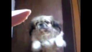 Собака Пекинес