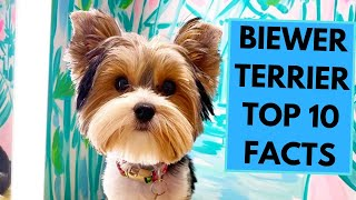 Biewer Terrier  TOP 10 Interesting Facts