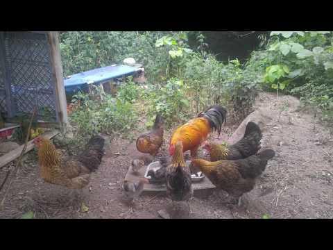 해바라기섬 황도에서 자라는 청리토종닭의 아침식사