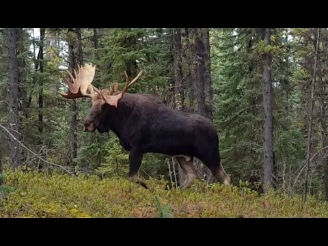 CRAZY CLOSE!! TWO MONSTER CANADIAN BULL MOOSE IN YOUR FACE!!!!!