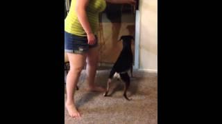 Funny Beagle/lab Mix