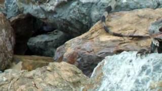 iguane aux iles vierges americaines