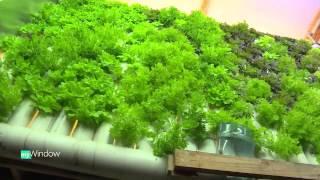 Volcano Veggies Vertical Indoor Aquaponics