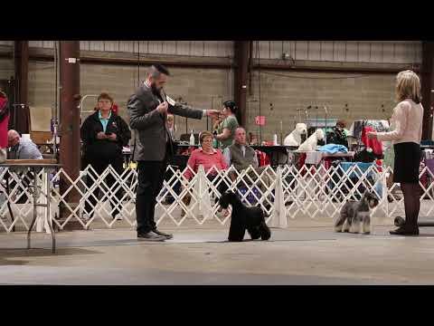 4/21/2019 Timonium Dog Show. Miniature Schnauzers