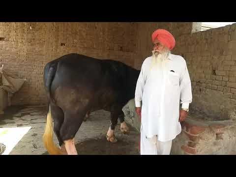 Dr#sahib#ne#pass#Kiya#Hua#hai nili Ravi Bull (sale)👍👍👌 07009492709 20-3-2019