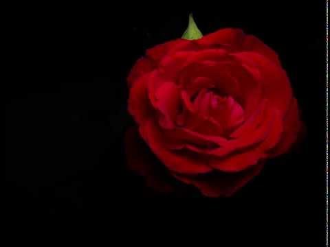 Red Rose Bloom [4K] [Timelapse]