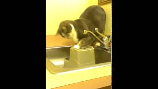 Cat has an odd way of drinking water