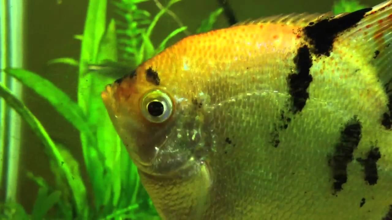 Male Or Female Angelfish - Youtube-4887