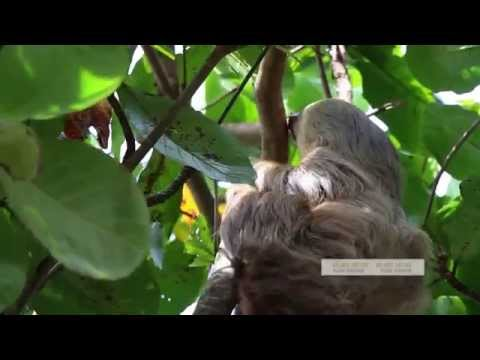 Two Toed Sloth, picks it, sniffs it and sticks it...