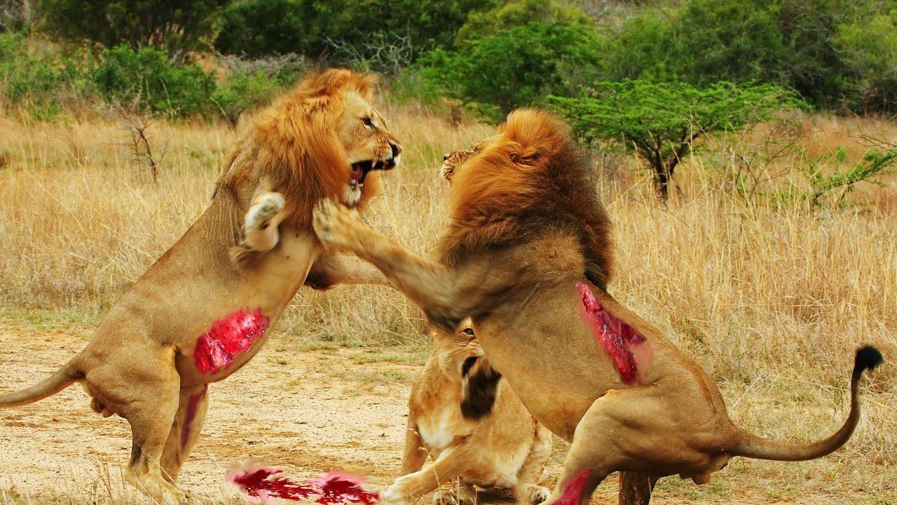 New 2017 Lion attacks. Lion vs Zebra-Tiger-Monkey ...