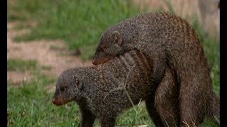Mating habits of the Mongoose - Banded brothers - BBC