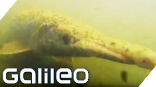 Bildgeschichte: Alligatorfisch | Galileo Lunch Break