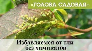 Голова садовая - Избавляемся от тли без химикатов