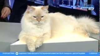 Сибирская порода кошек на телеканале Дождь
