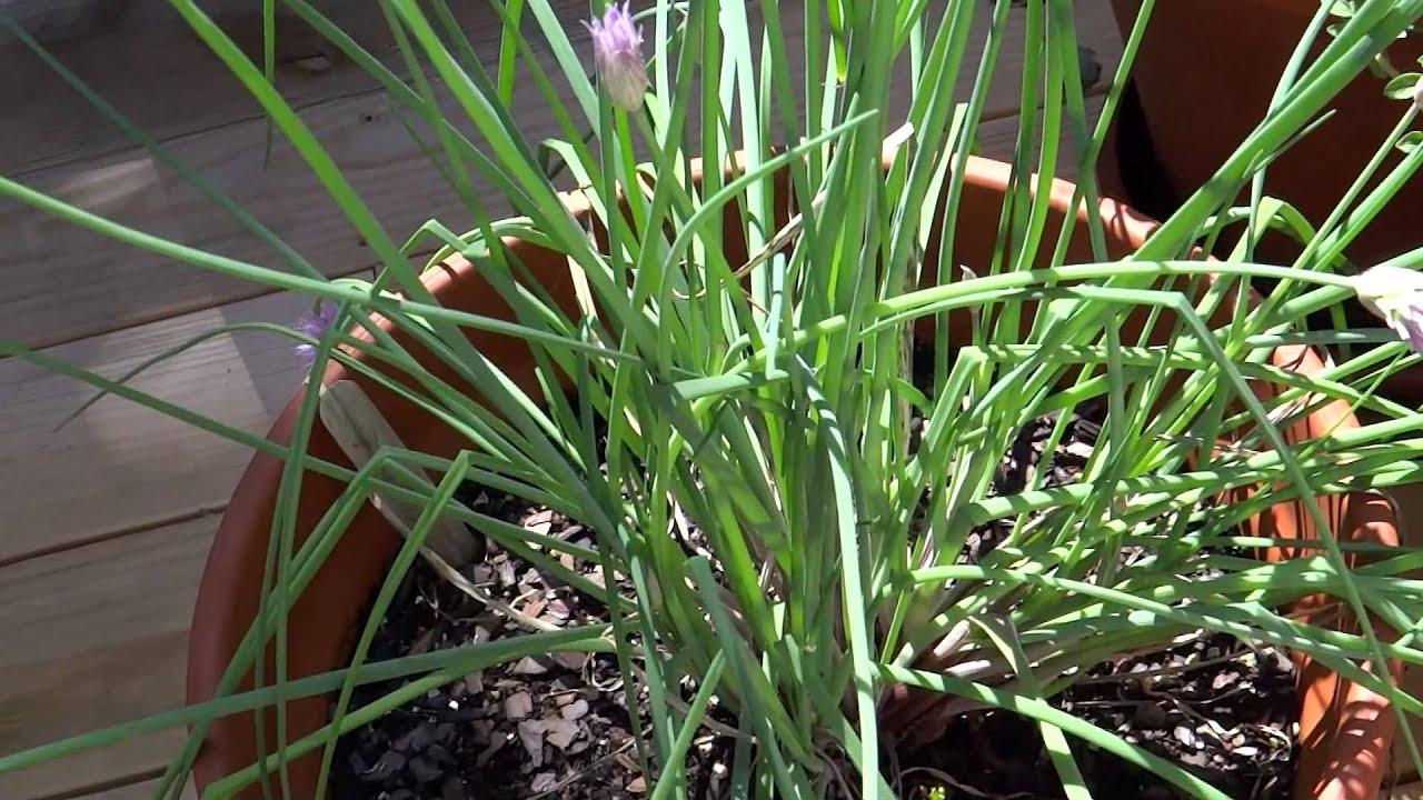 the container garden galangal thai ginger lemongrass kaffir lime tree terracotta pots and more - Kaffir Lime Tree
