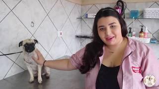 Banho em cães braquicefálicos • Jade  Pug