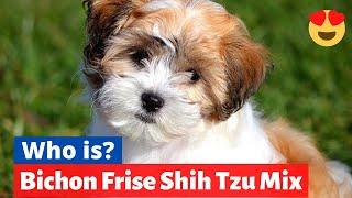 Bichon Frise Shih Tzu Mix (Shichon) : Should you get this Cross Breed? Shichon Facts, Size and Info