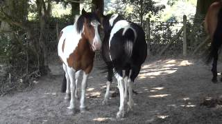 Horses Keep Flies off Each Other
