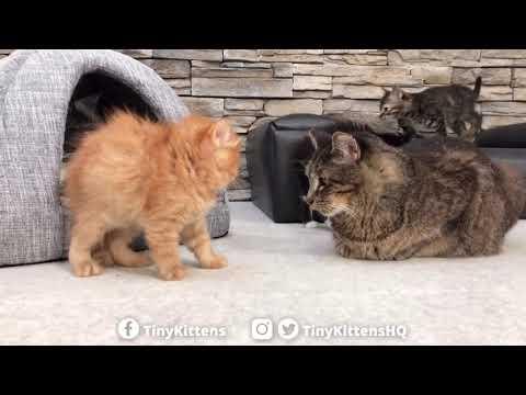Heather Burnside - Paw Purr Azzi: Scary Puffy Kitten Won't Back Down